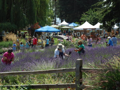 Lavender picking in Oregon, farms and markets