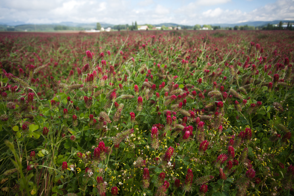 clover field, agriculture