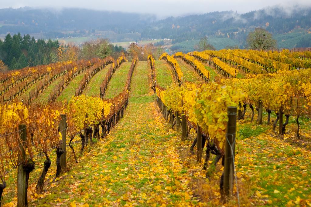 Tualatin Valley Vineyard in the Fall