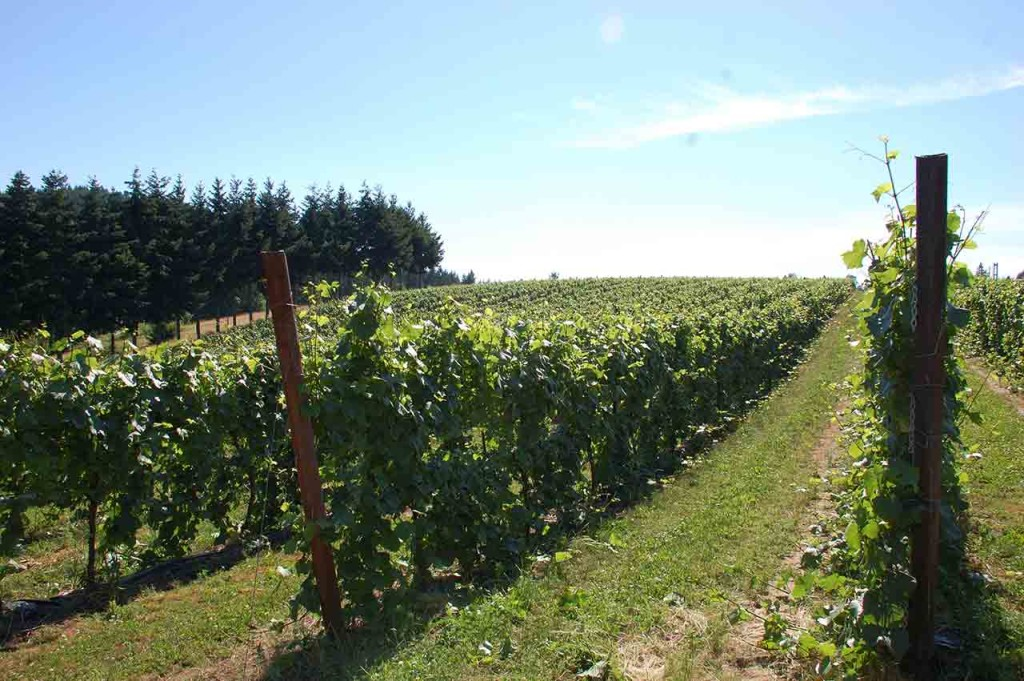 vineyards oregon, A Blooming Hill in Cornelius, OR in the Tualatin Valley