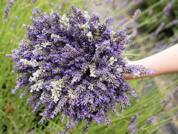 Lavender farms in Oregon's Tualatin Valley