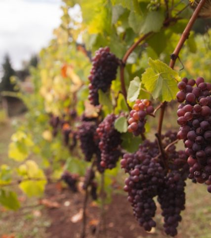 Grapes from a vineyard in Oregon's Tualatin Valley