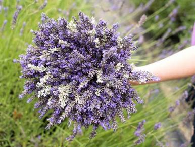 Helvetia Lavender Farm in Oregon