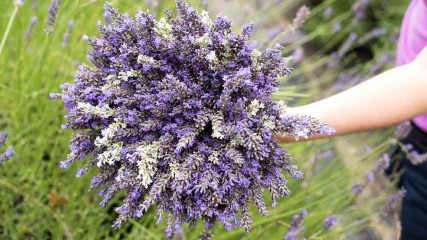 Helvetia Lavender Farm in Oregon