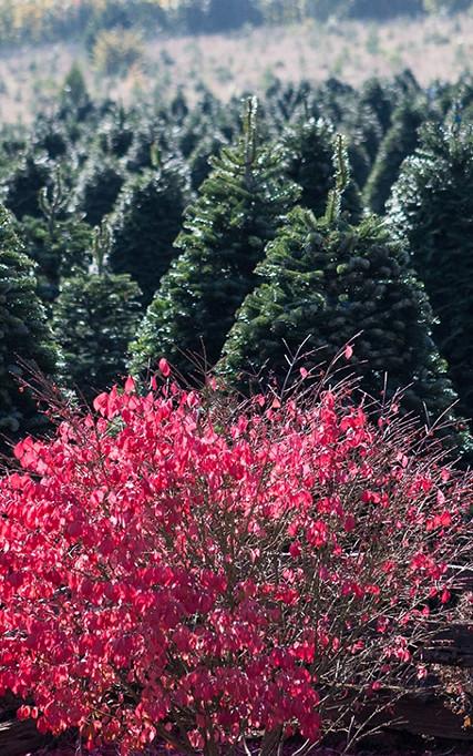 Sleighbells Holiday Trees
