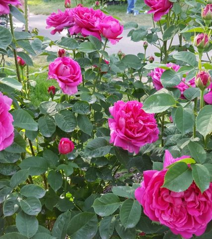 InternationalRoseGarden