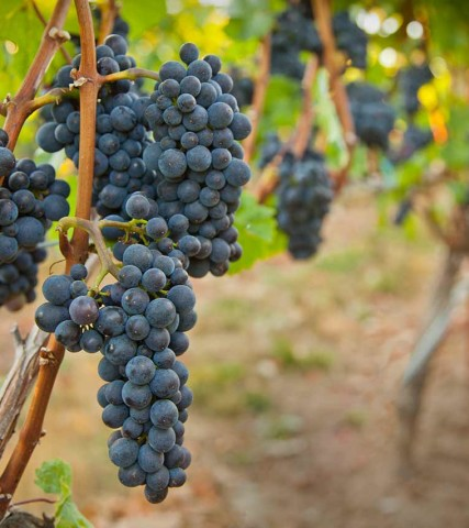 Grapes at Alloro Vineyard in Sherwood, Oregon