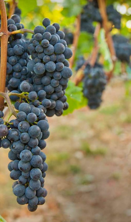 Grapes at Alloro Vineyard in Sherwood, Oregon