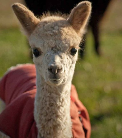 Alpaca Farms in Oregon's Tualatin Valley