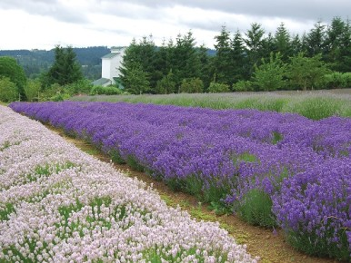 Lavender Days in Tualatin Valley