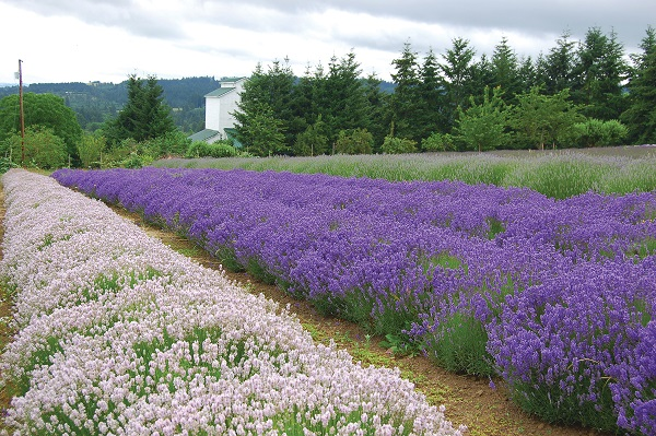 Mountainside Lavender Farm