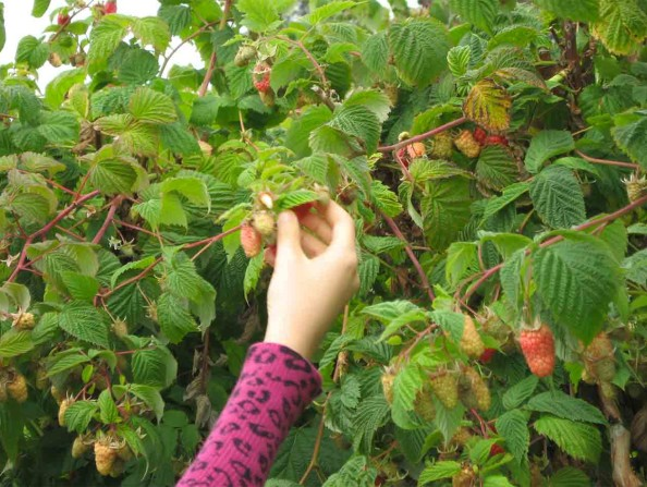 Berry picking in Oregon's Tualatin Valley