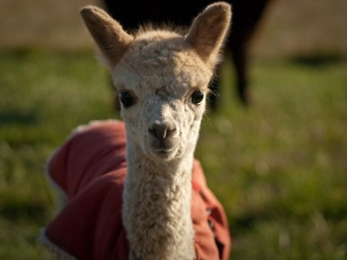 WashCo_Post_30_alpaca_CREDIT_Joel_Zak