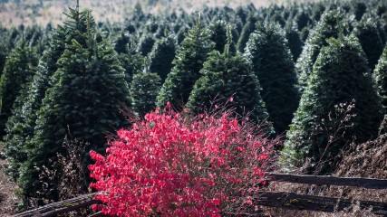 Holiday Trees 1