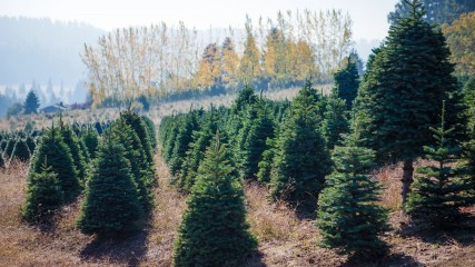 Holiday tree farms in the Tualatin Valley