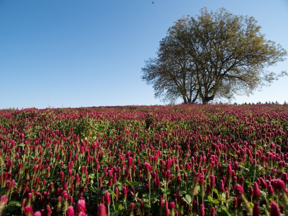 Clover field in Oregon's Tualatin Valley