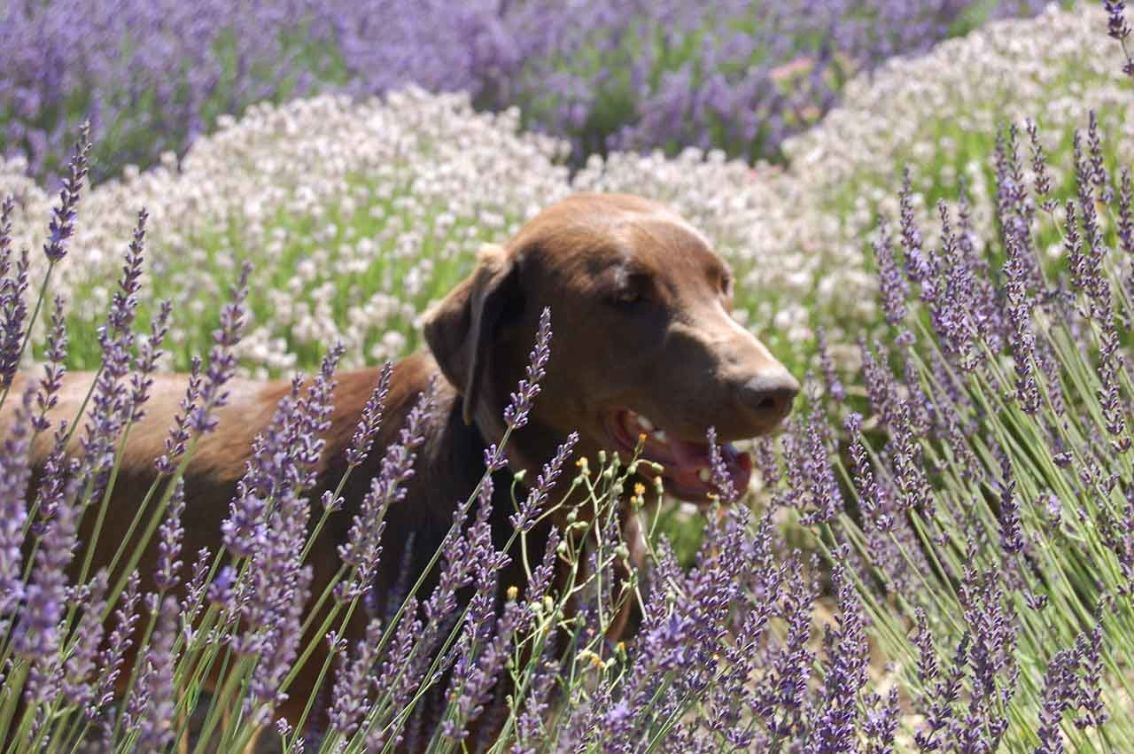 Mountainside Lavender Farm dog