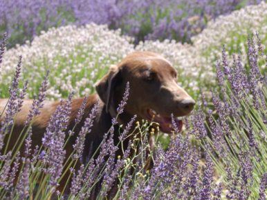 Mountainside Lavender Farm dog in Hillsboro, Oregon