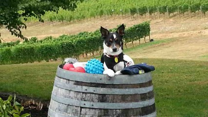 Canines Uncorked is a dog-friendly event in Oregon's Tualatin Valley