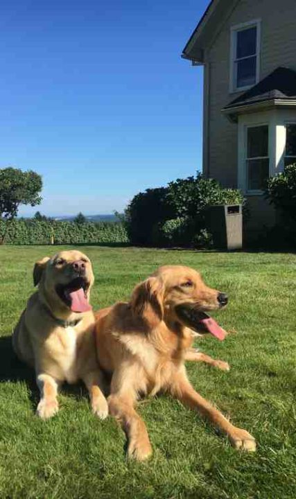 Dogs at David Hill Winery in Forest Grove, Oregon