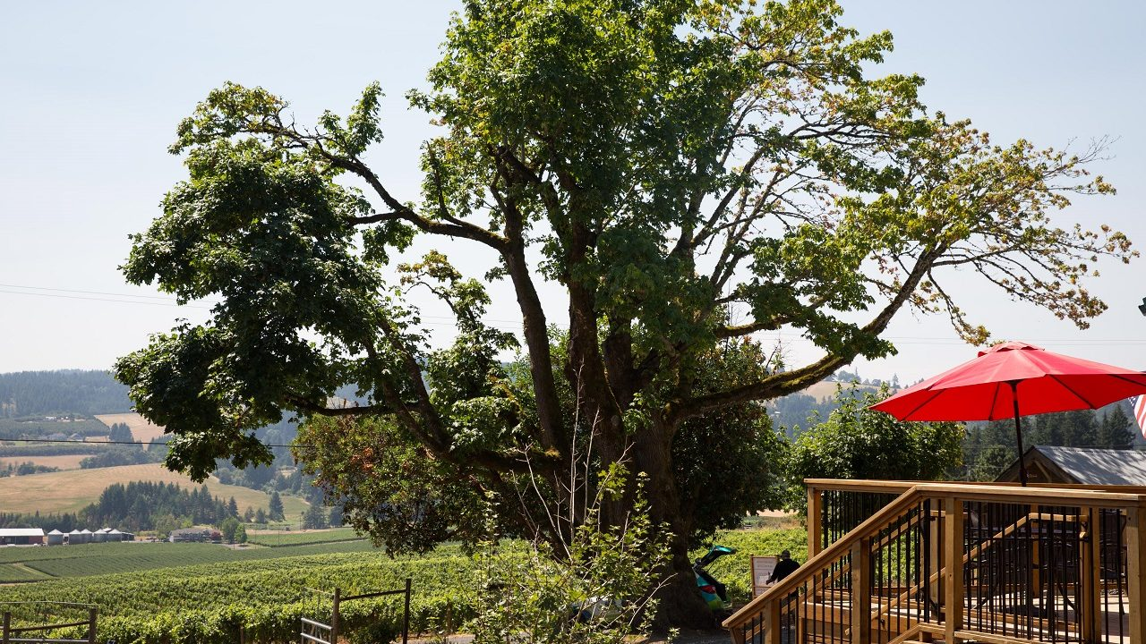 Dion Vineyard in Oregon's Tualatin Valley