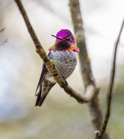 A hummingbird in Oregon's Tualatin Valley: 2014 Nature Photo Contest