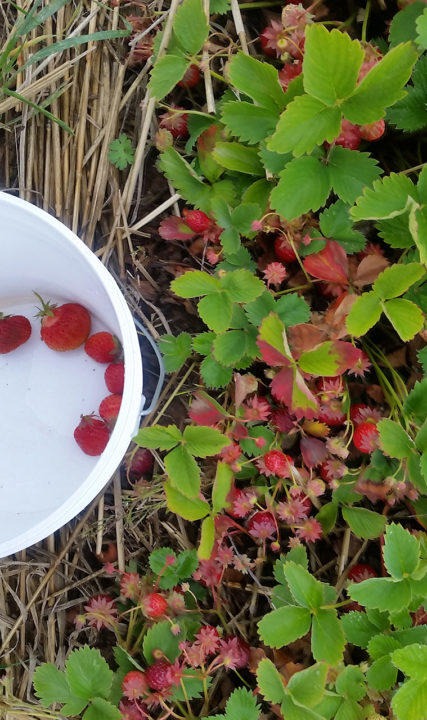 Unger Farms Berries