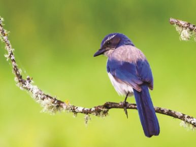 Western_Scrub_Jay_by_Dennis_Davenport_Birding