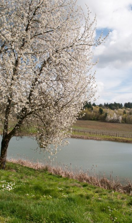 Cherry Blossoms at Elk Cove Vineyards