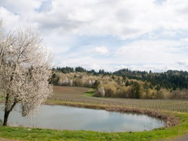 Cherry Blossoms at Elk Cove Vineyards in Gaston