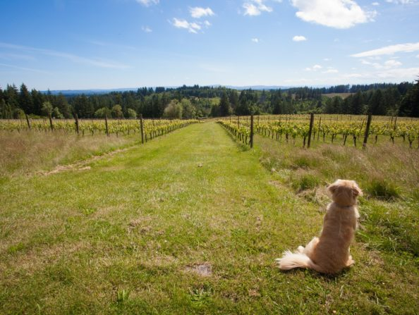 Dogs in Oregon's Tualatin Valley