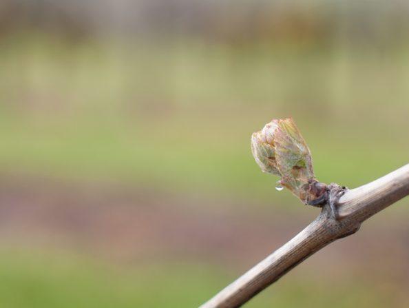 Vineyard Spring Bud Break