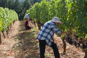 Fall harvest at a Tualatin Valley winery, Oregon vineyards and wineries