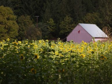 Oregon Sunflower Season