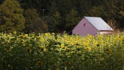 Oregon Sunflower Season