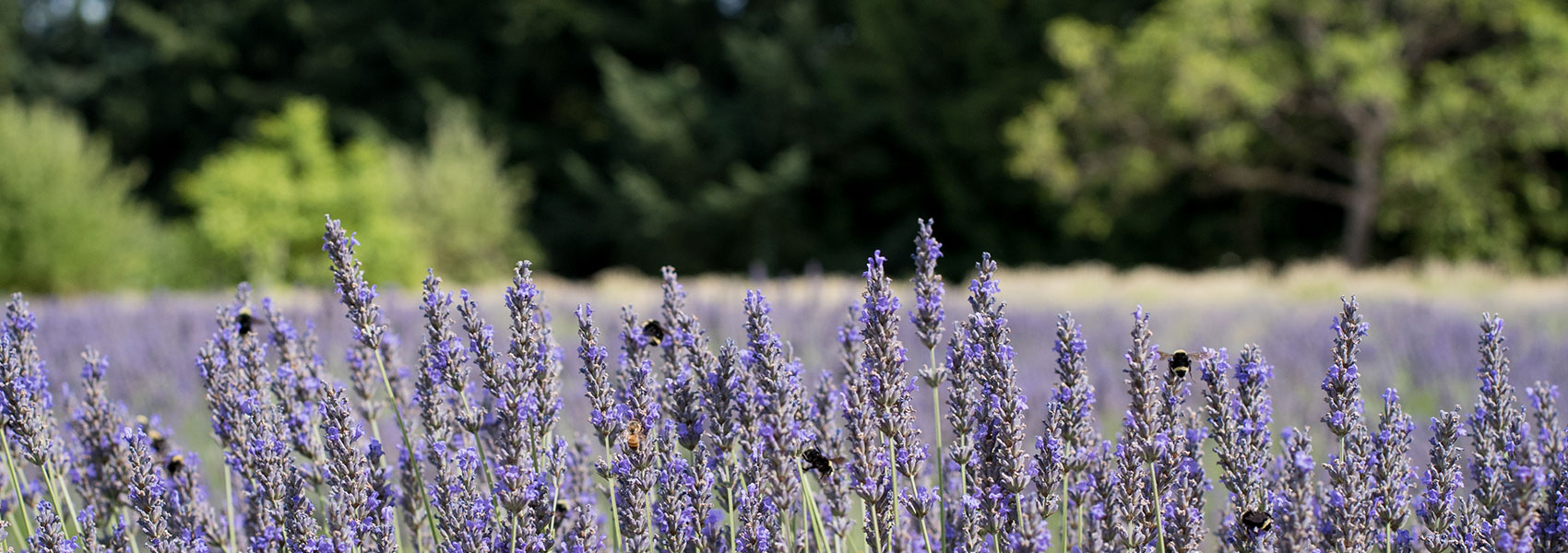 mountainside-lavender- banner