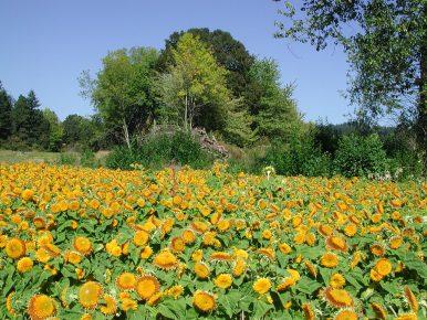 Sunflower Fields in Tualatin Valley