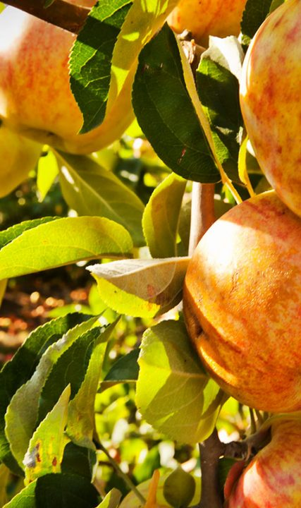 apples upick farm oregon spiker