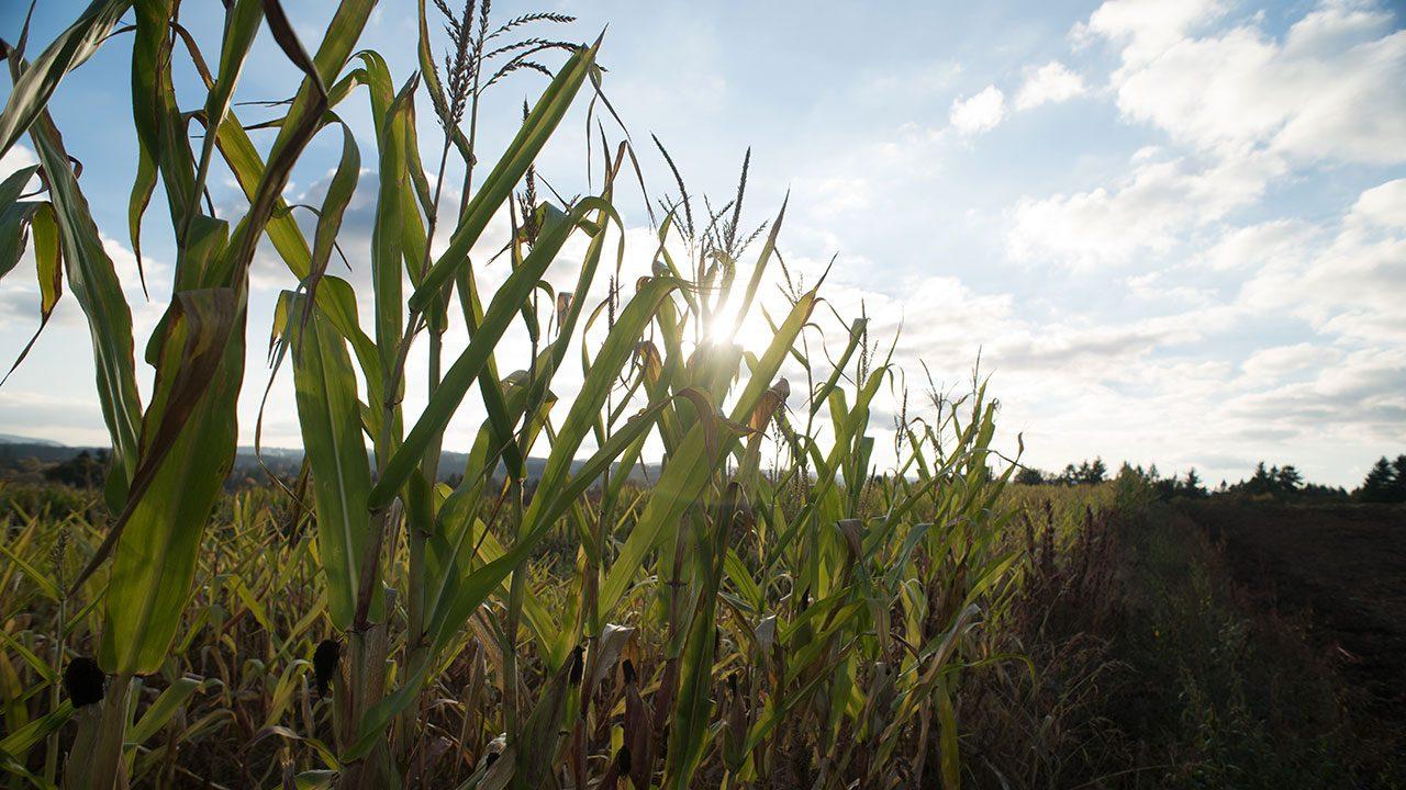 corn field fall foliage oregon Frierott