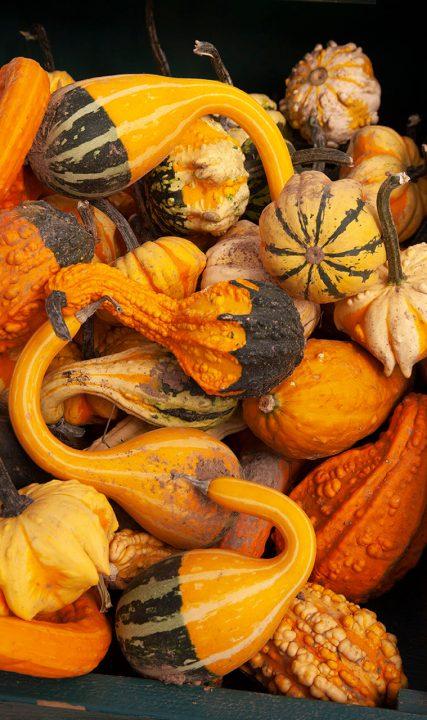pumpkin gourds fall shea A