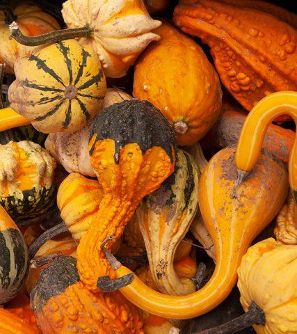 pumpkin gourds fall shea B