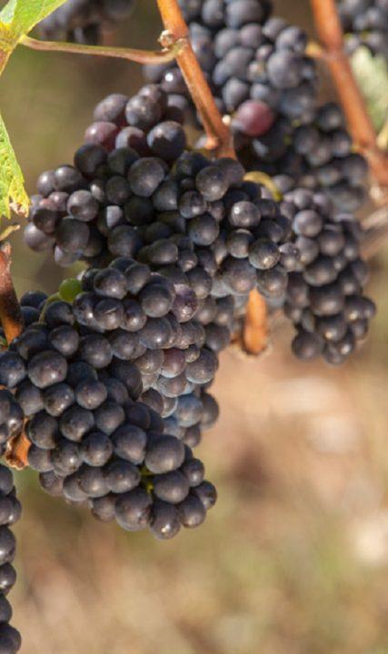 Grapes_Ruby_VineyardsIMG_1521_JS_Edit